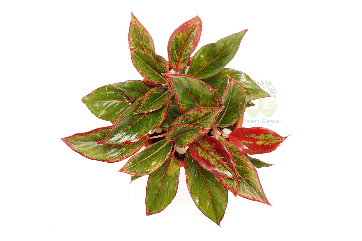 Buy Aglonema Red Plants , White Pots and seeds in Delhi NCR by the best online nursery shop Greendecor.
