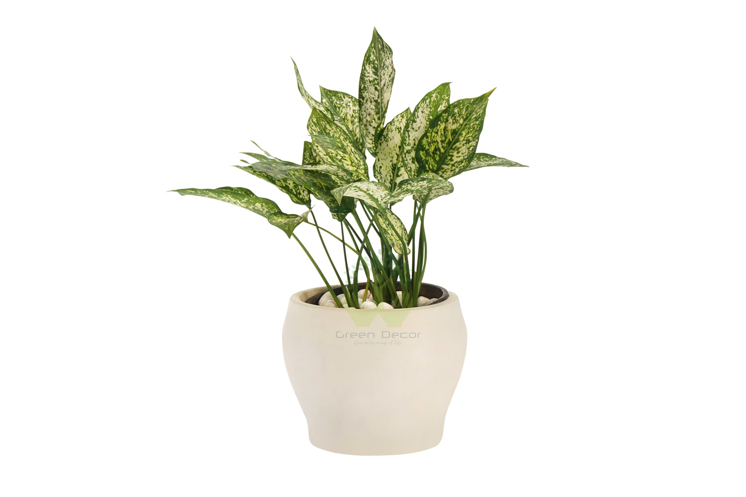 Buy Agloanema White Plants Front VIew, White Pots and seeds in Delhi NCR by the best online nursery shop Greendecor.