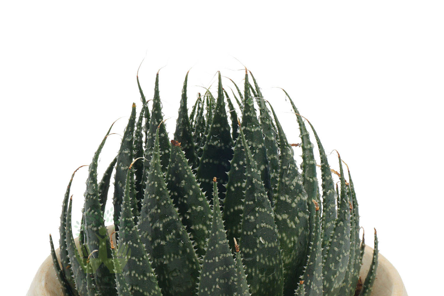 Buy Aloe Humilis Plants , White Pots and seeds in Delhi NCR by the best online nursery shop Greendecor.