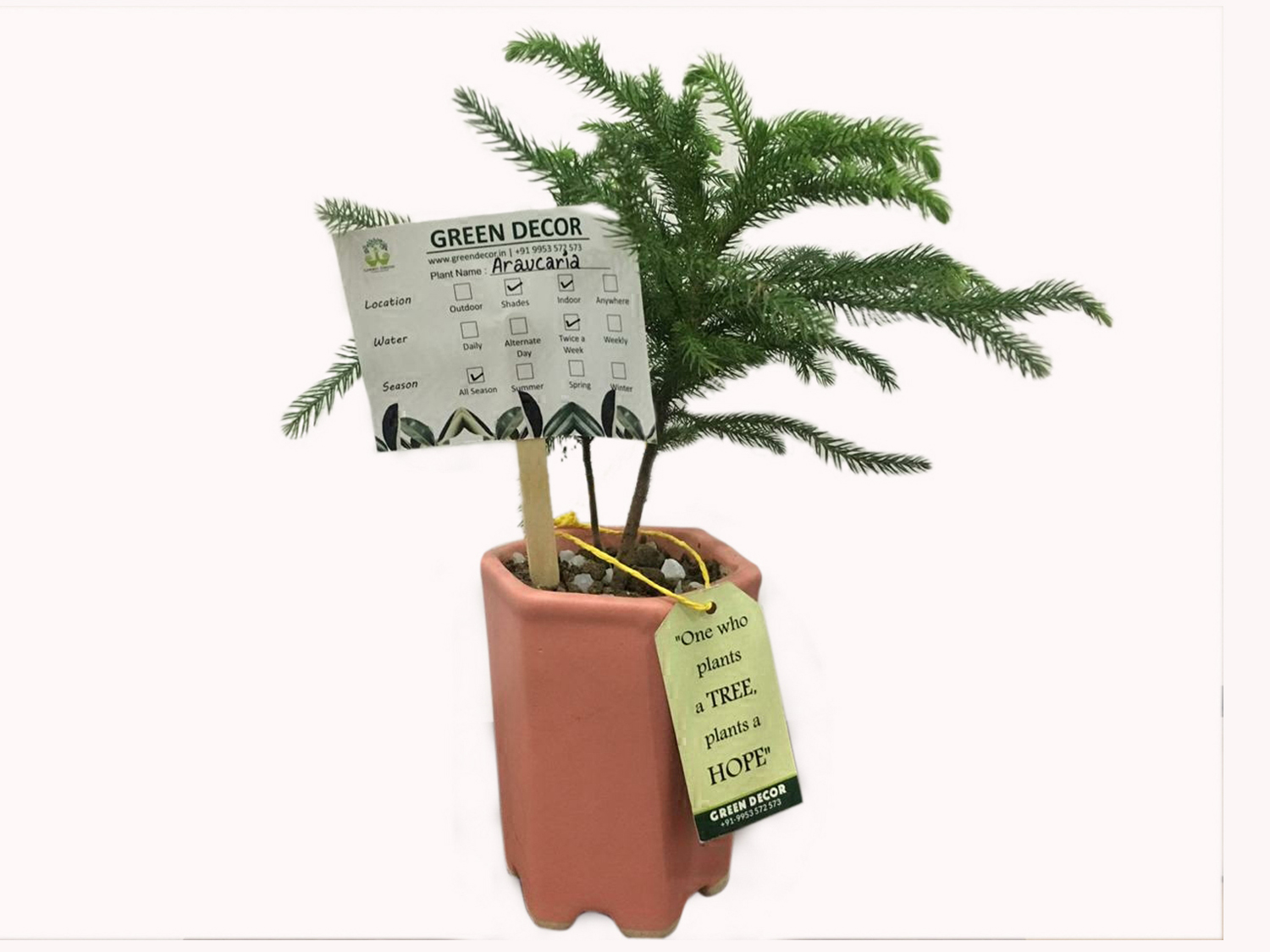 Araucaria Plant with Ceramic Pot by Green Decor