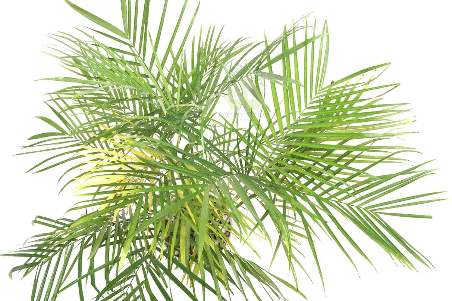 Buy  Areca Palm Plants , White Pots and seeds in Delhi NCR by the best online nursery shop Greendecor.