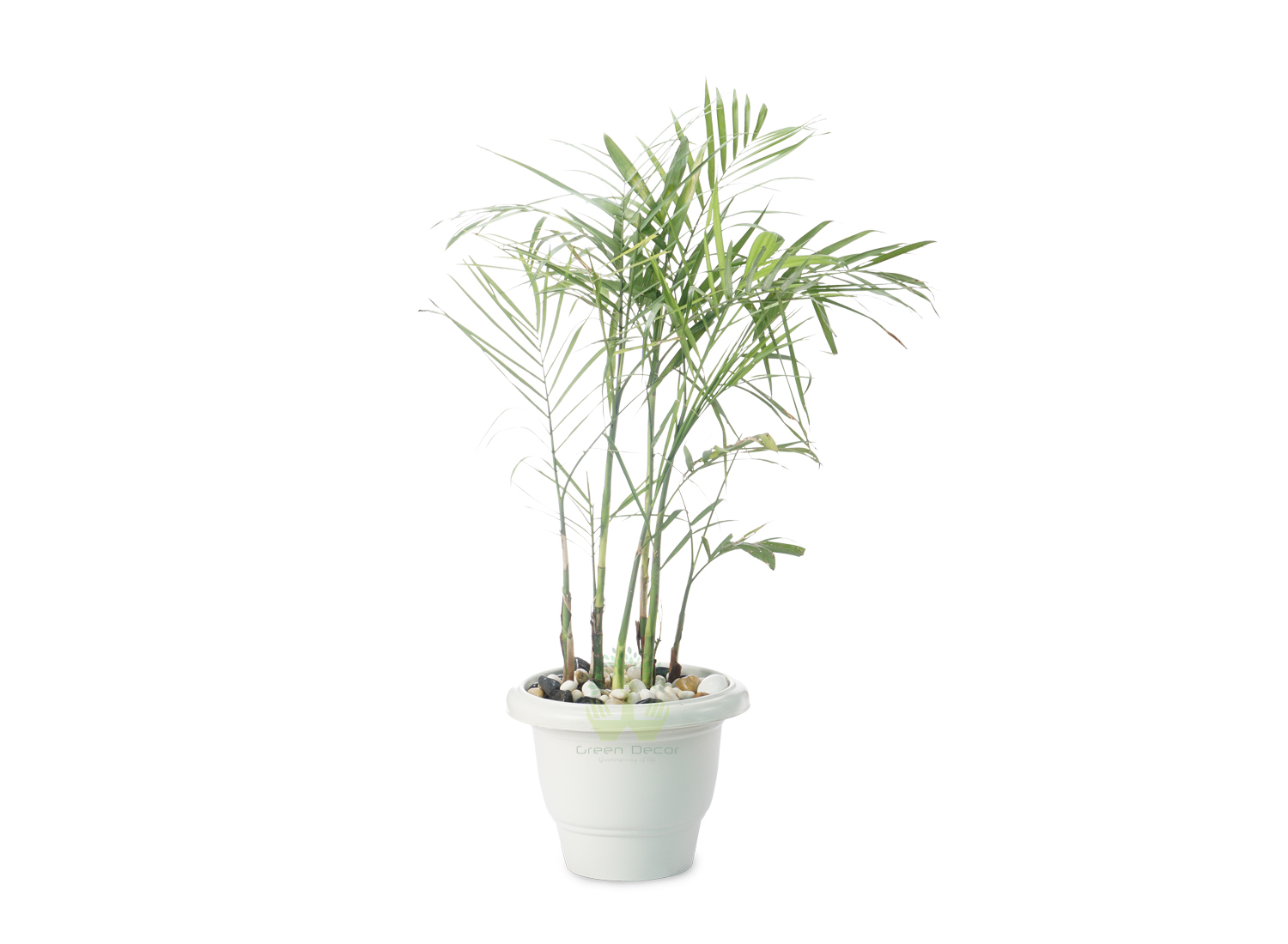 Buy Bamboo Palm Plants Front View , White Pots and seeds in Delhi NCR by the best online nursery shop Greendecor.