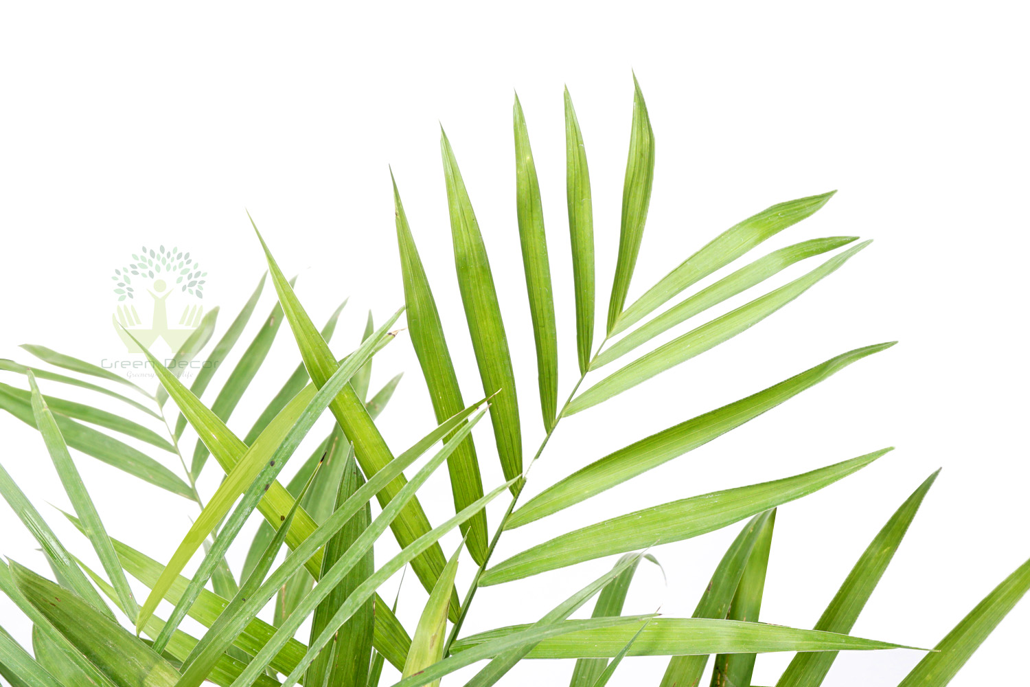 Buy Bamboo Palm Plants Leaves View , White Pots and seeds in Delhi NCR by the best online nursery shop Greendecor.