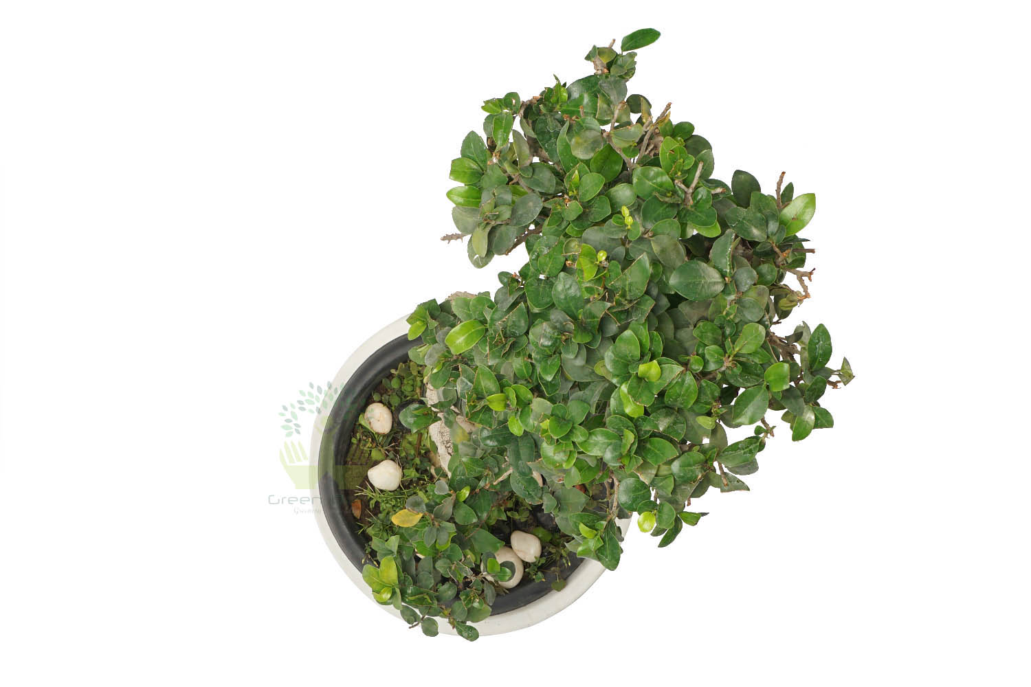 Buy Ficus Plant Top View by the best online nursery shop Greendecor.