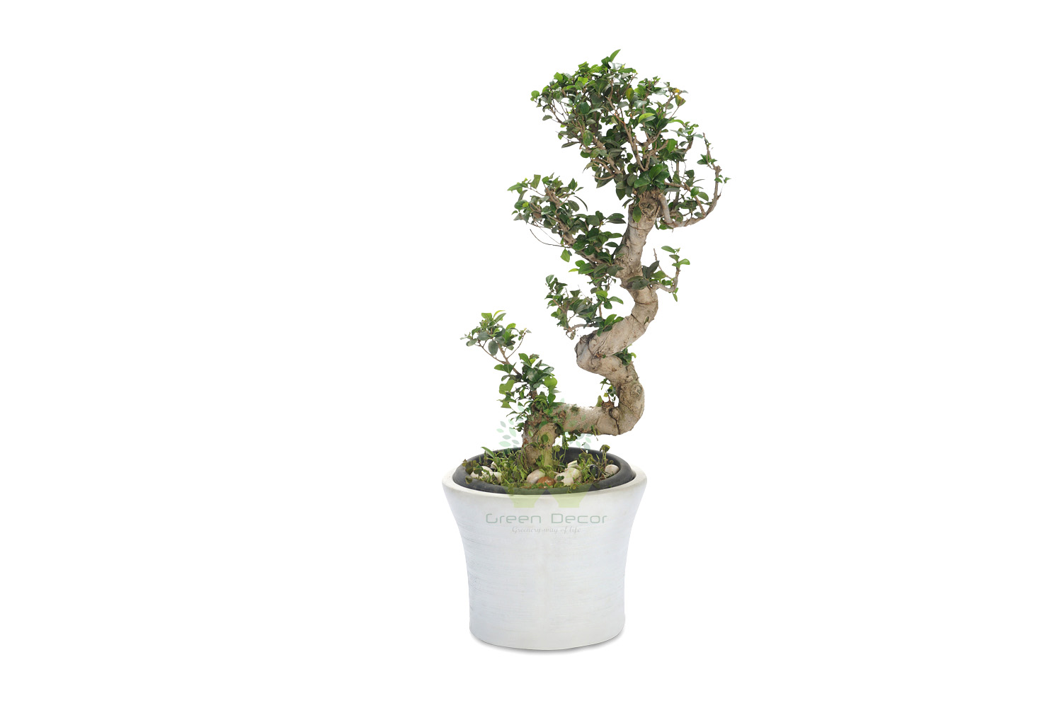 Buy Ficus Large Leaves Plant Front View, White Pots and Seeds in Delhi NCR by the best online nursery shop Greendecor.