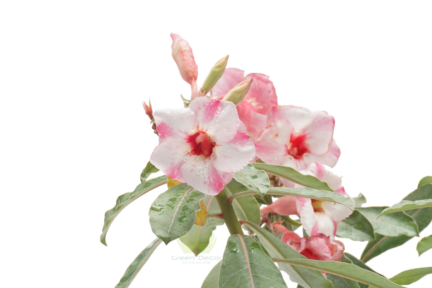Buy Adenium Obesum Plants , White Pots and seeds in Delhi NCR by the best online nursery shop Greendecor.