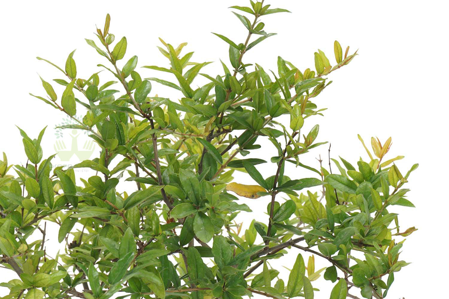 Buy Dwarf Pomegranate Plant Leaves View in Delhi NCR by the best online nursery shop Greendecor.