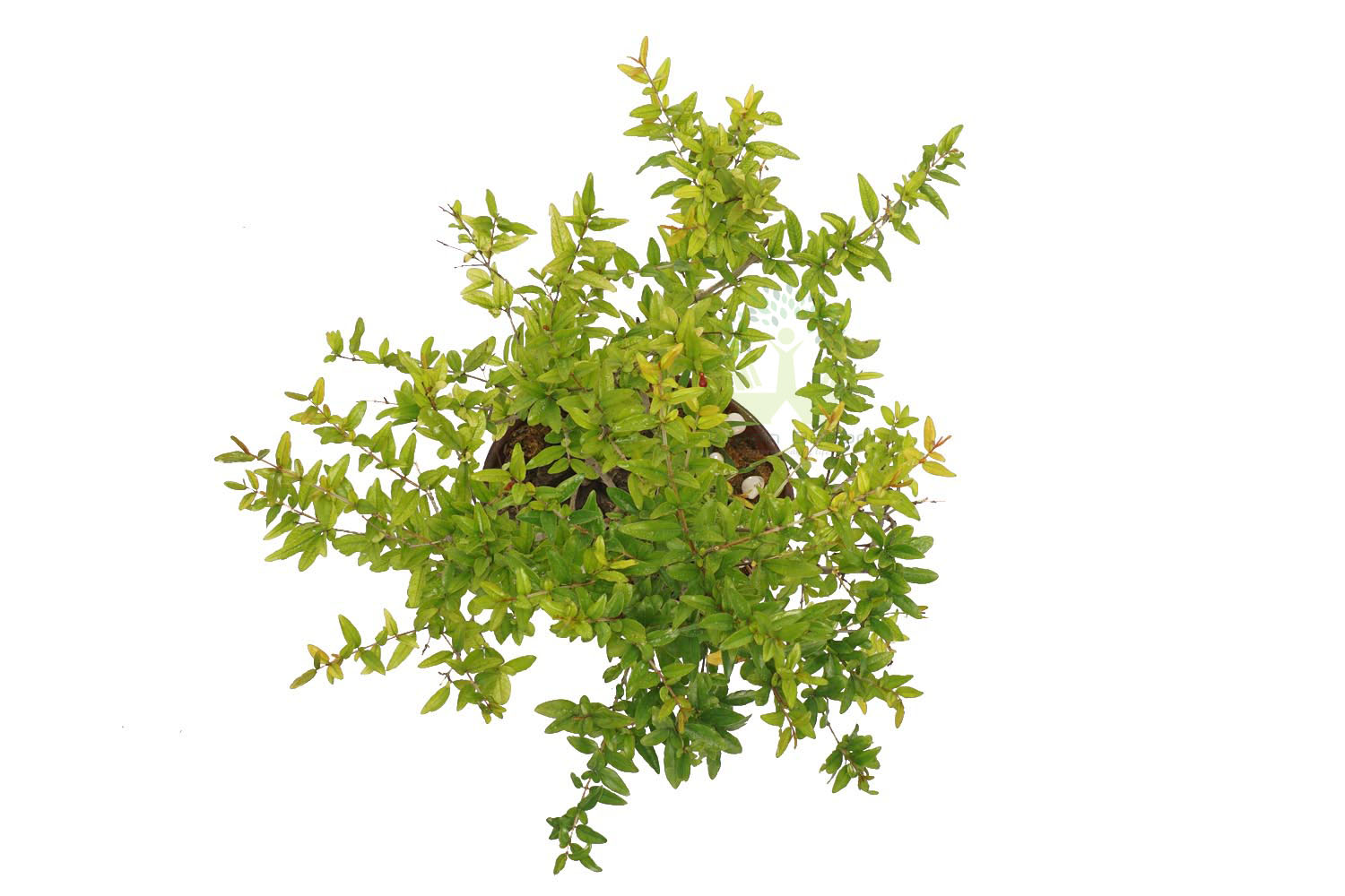 Buy Dwarf Pomegranate Plant Top View by the best online nursery shop Greendecor.