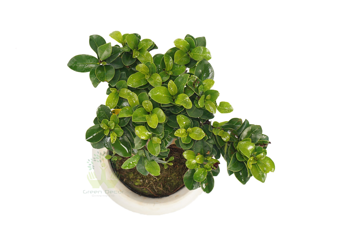 Buy Ficus Plants , White Pots and seeds in Delhi NCR by the best online nursery shop Greendecor.