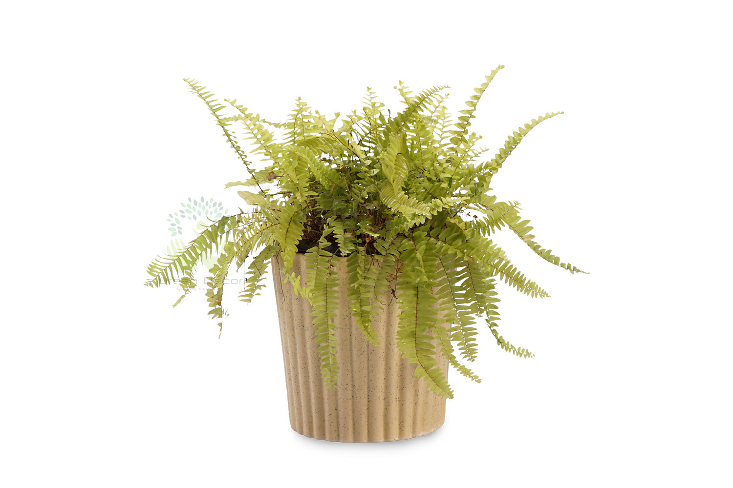 Buy Boston Fern Plants , White Pots and seeds in Delhi NCR by the best online nursery shop Greendecor.
