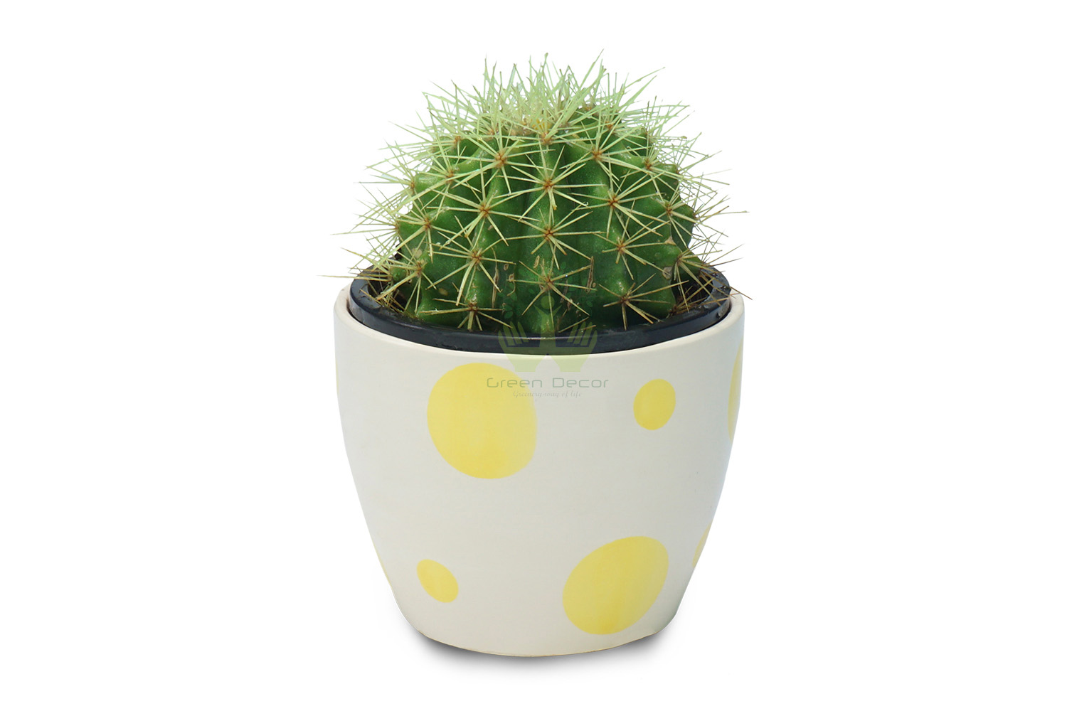 Buy Echinocactus Grusonii Plants , White Pots and seeds in Delhi NCR by the best online nursery shop Greendecor.