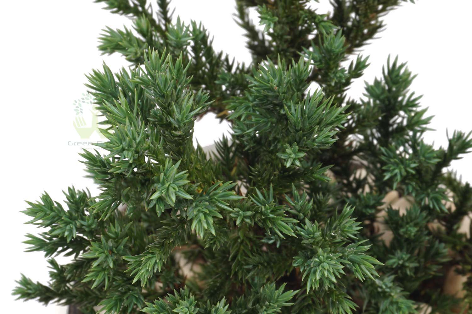Buy Cedar Cypress Plants Closup View , White Pots and seeds in Delhi NCR by the best online nursery shop Greendecor.