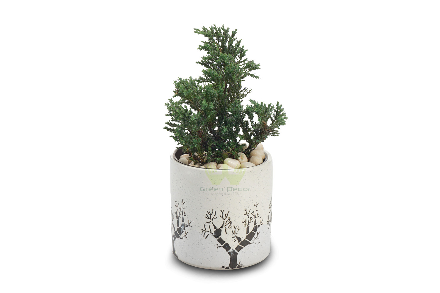 Buy Cedar Cypress Plants Front View , White Pots and seeds in Delhi NCR by the best online nursery shop Greendecor.