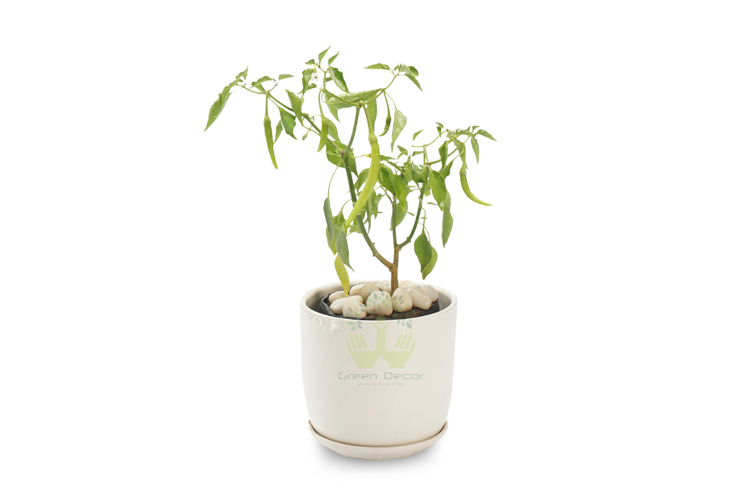 Buy Chilli Green Plants , White Pots and seeds in Delhi NCR by the best online nursery shop Greendecor.