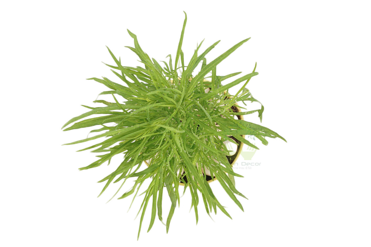 Buy kochia Plants Top View , Yellow Pots and seeds in Delhi NCR by the best online nursery shop Greendecor.