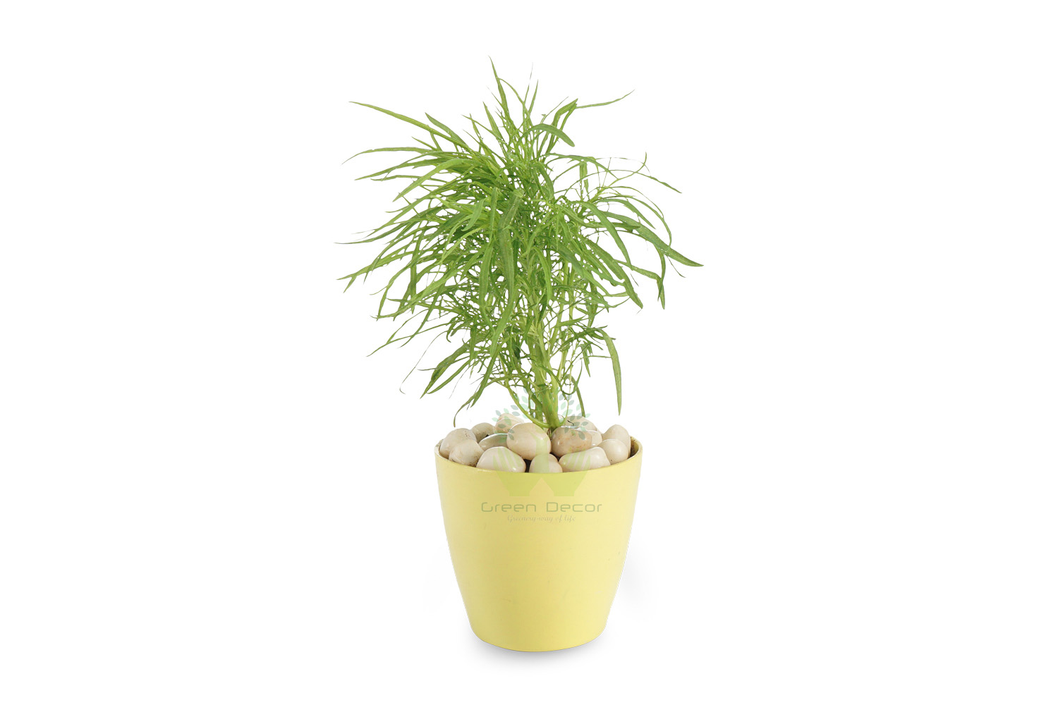 Buy kochia Plants Front View , Yellow Pots and seeds in Delhi NCR by the best online nursery shop Greendecor.