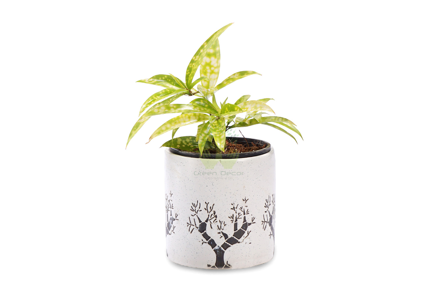 Buy Croton Codiaeum Plants , White Pots and seeds in Delhi NCR by the best online nursery shop Greendecor.
