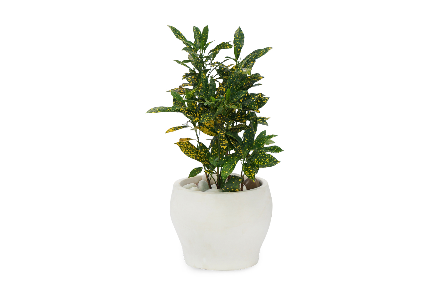 Buy Croton Golden Dust Plants , White Pots and seeds in Delhi NCR by the best online nursery shop Greendecor.