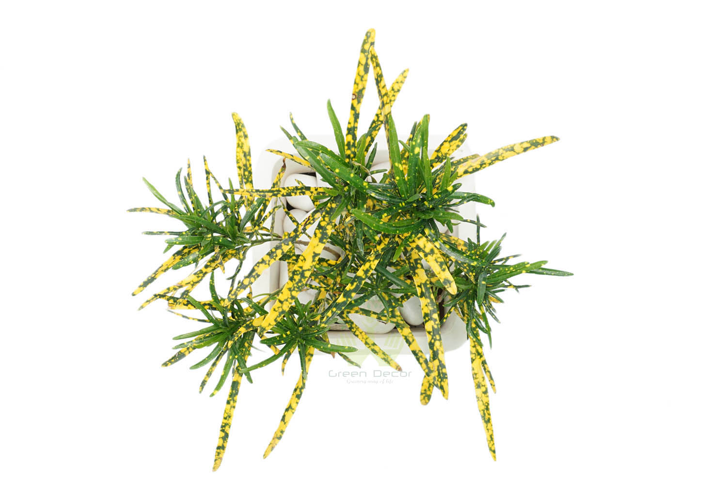 Buy Croton Golden Dust Thin Leaves Top View in Delhi NCR by the best online nursery shop Greendecor.
