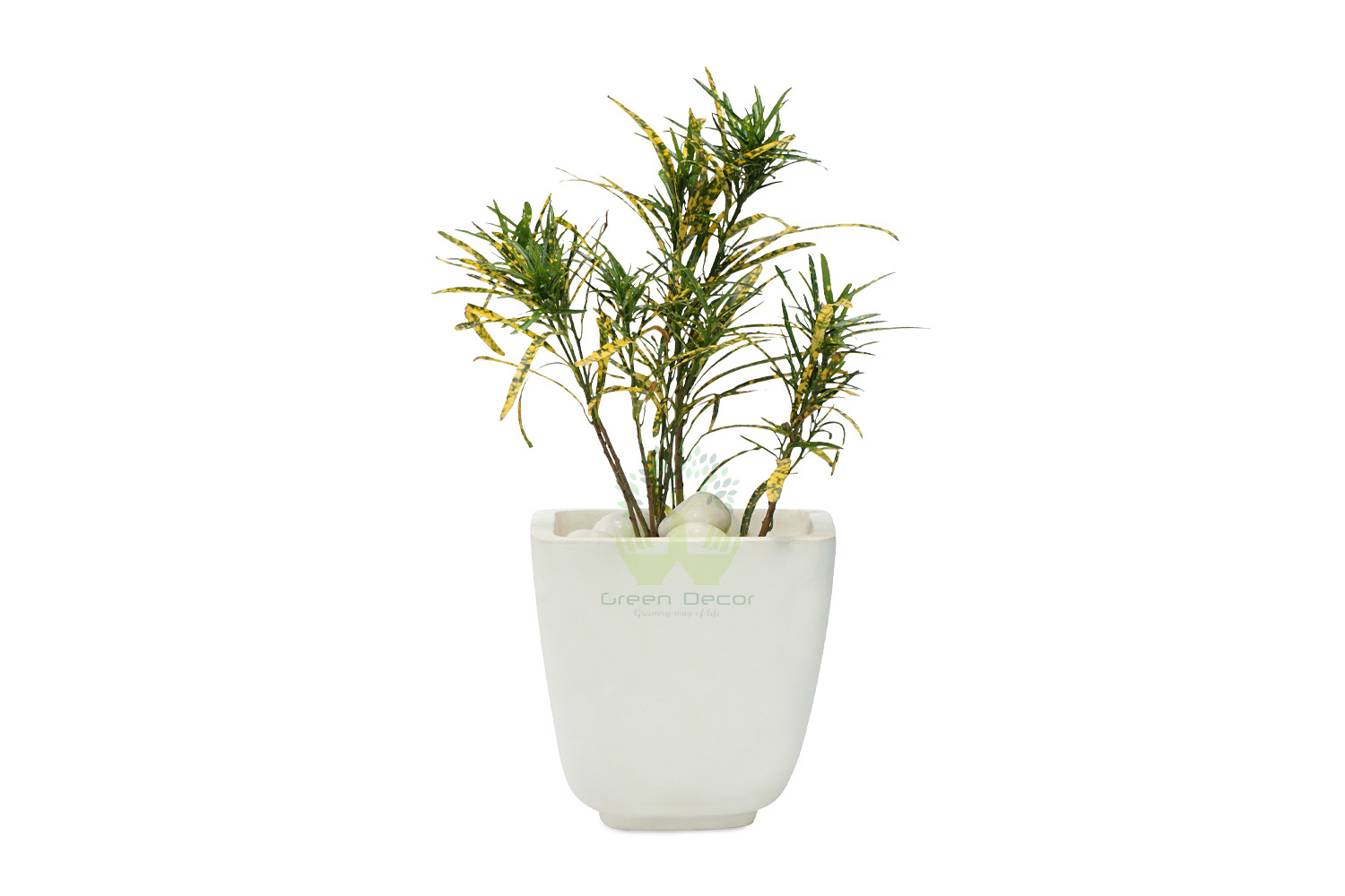 Buy Croton Golden Dust Thin Leaves Front View, White Pots and Seeds in Delhi NCR by the best online nursery shop Greendecor.