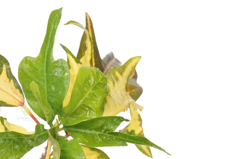 Buy Croton Variegatum Duckfoot
