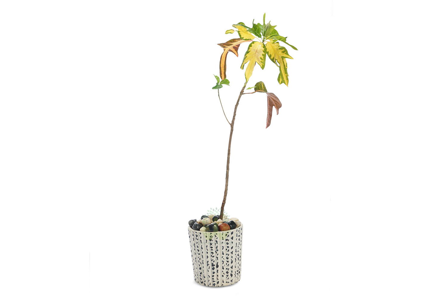 Buy Croton Variegatum Duckfoot Plants Front View , White Pots and seeds in Delhi NCR by the best online nursery shop Greendecor.