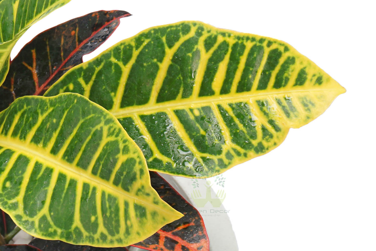 Buy Croton Variegatum Petra Plants , White Pots and seeds in Delhi NCR by the best online nursery shop Greendecor.