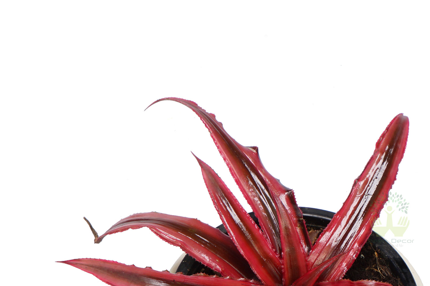 Buy Cryptanthus Plant Top View, White Pots and Seeds in Delhi NCR by the best online nursery shop Greendecor.