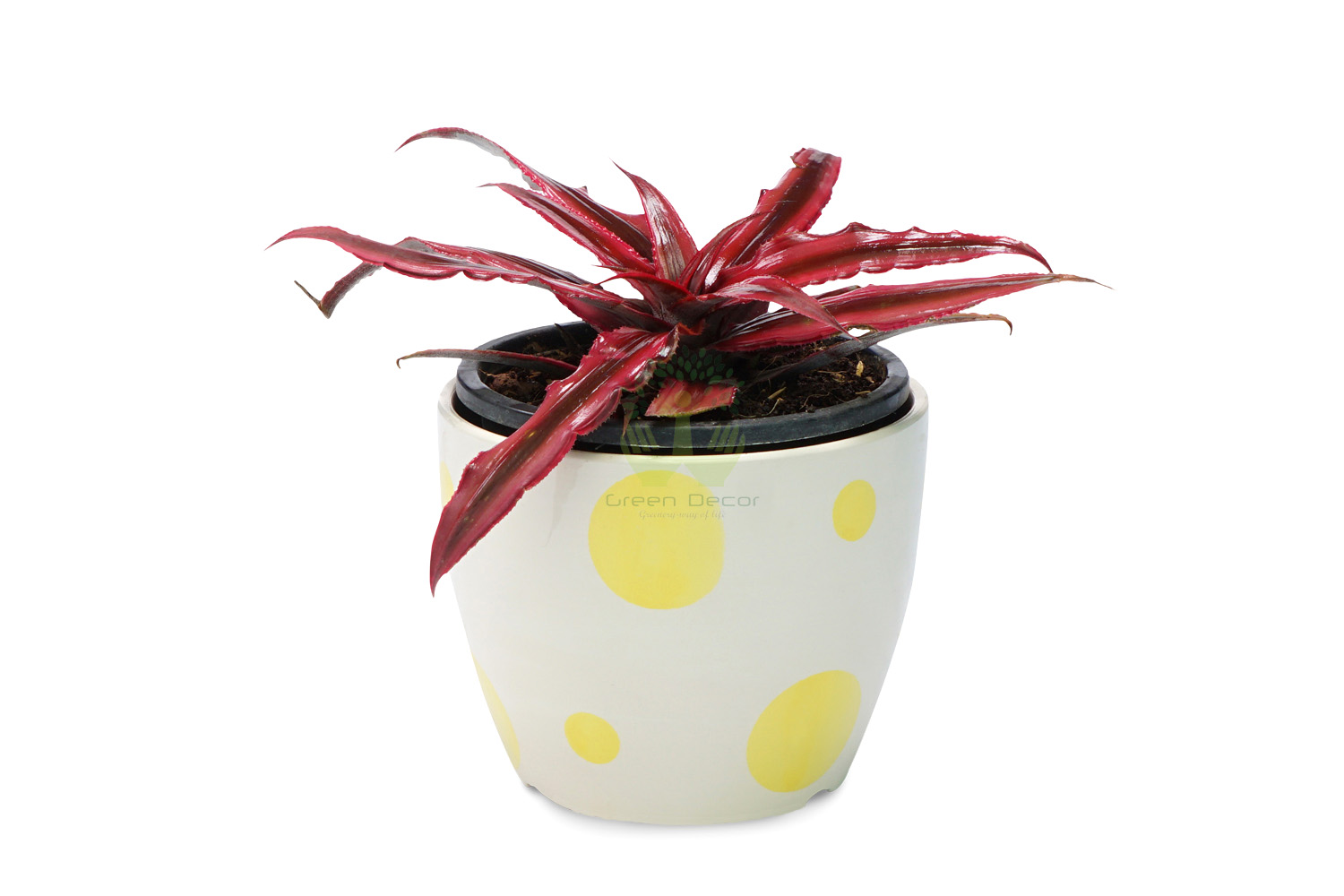 Buy Cryptanthus Plant Front View, White Pots and Seeds in Delhi NCR by the best online nursery shop Greendecor.