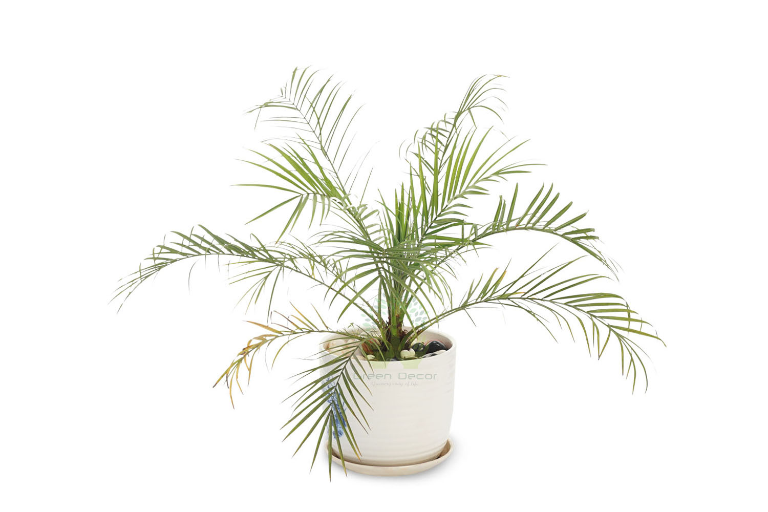 Buy Dwarf Date Palm Plants , White Pots and seeds in Delhi NCR by the best online nursery shop Greendecor.