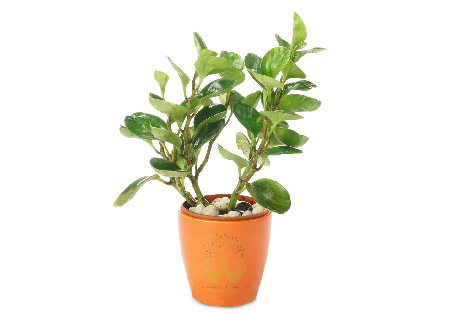 Buy Peperomia obra Plant Front View, White Pots and Seeds in Delhi NCR by the best online nursery shop Greendecor.
