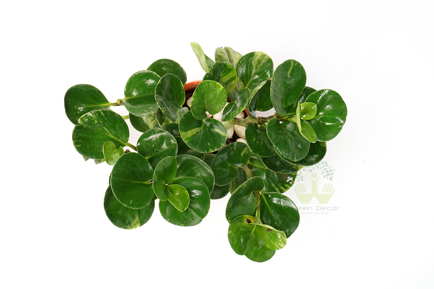Buy Peperomia obra Plant Top View, White Pots and Seeds in Delhi NCR by the best online nursery shop Greendecor.