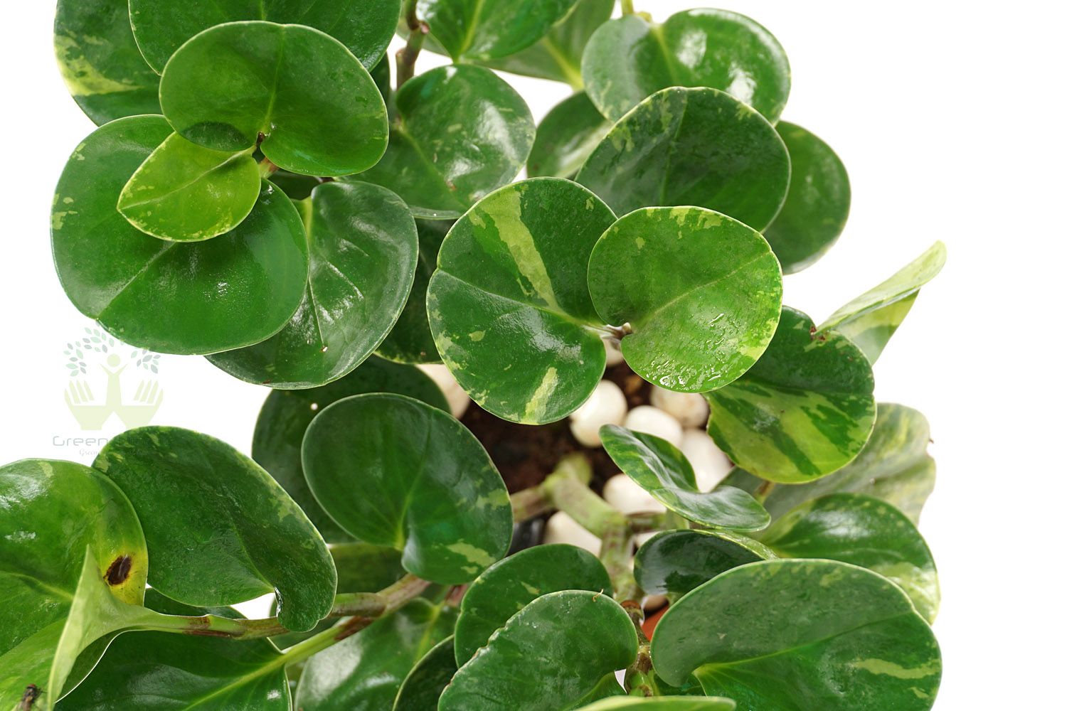 Buy Peperomia obra Plant Leaves View, White Pots and Seeds in Delhi NCR by the best online nursery shop Greendecor.