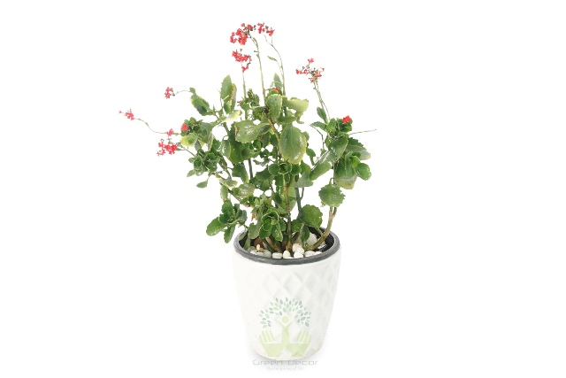 Buy Kalanchoe Milloti Plants Front View , White Pots and seeds in Delhi NCR by the best online nursery shop Greendecor.