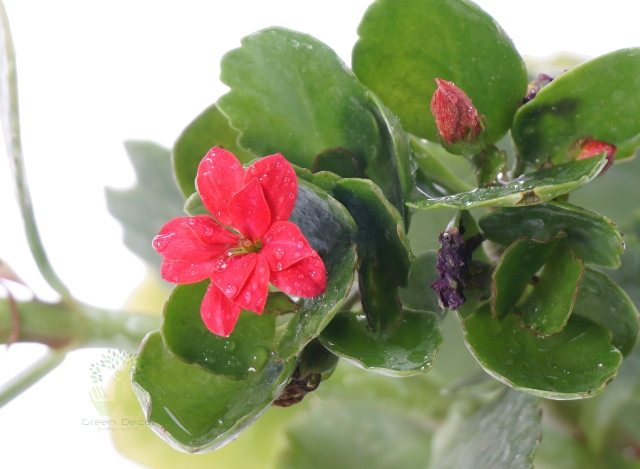 Buy Kalanchoe Milloti Plants Top View , White Pots and seeds in Delhi NCR by the best online nursery shop Greendecor.