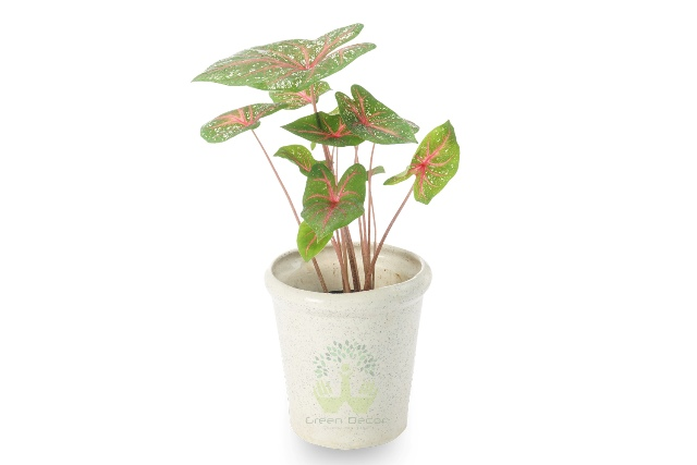 Buy Caladium Plant Front View, White Pots and Seeds in Delhi NCR by the best online nursery shop Greendecor.