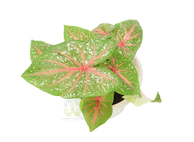 Buy Caladium Plant Top View, White Pots and Seeds in Delhi NCR by the best online nursery shop Greendecor.