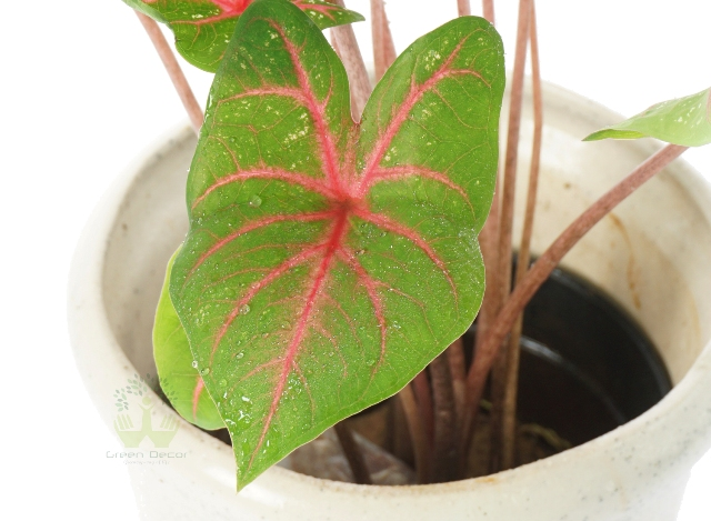 Buy Caladium Plant Leaves View, White Pots and Seeds in Delhi NCR by the best online nursery shop Greendecor.