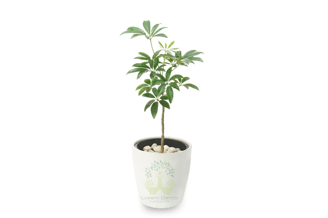 Buy Schefflera Geen Plant Front View, White Pots and Seeds in Delhi NCR by the best online nursery shop Greendecor.