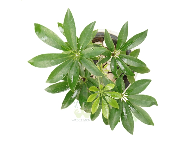 Buy Schefflera Geen Plant Top View, White Pots and Seeds in Delhi NCR by the best online nursery shop Greendecor.