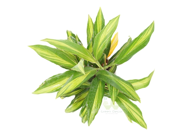 Buy Dracaena- Kiwi Plant Top View, White Pots and Seeds in Delhi NCR by the best online nursery shop Greendecor.