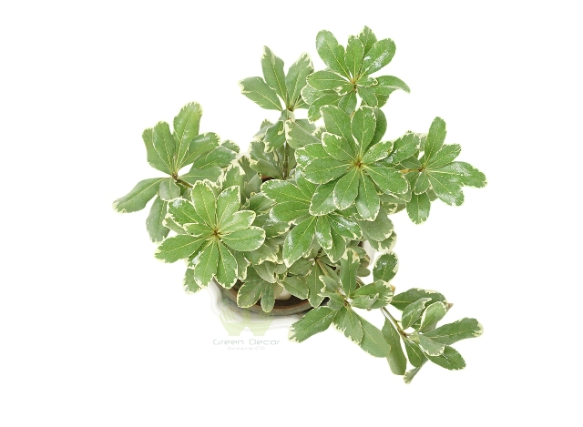 Buy Ficus Benjamina Plant Front View, White Pots and Seeds in Delhi NCR by the best online nursery shop Greendecor.