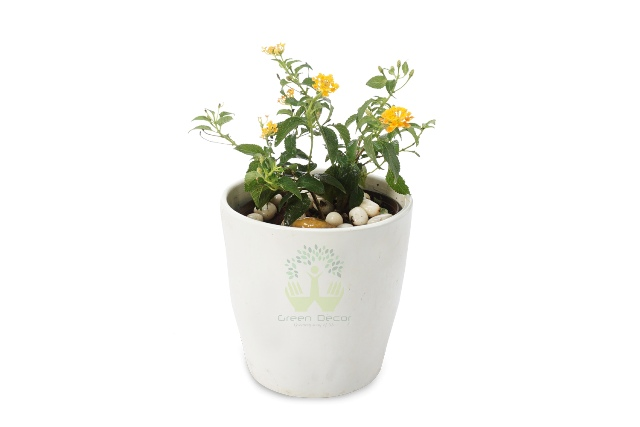 Buy Lantana Plant Front View, White Pots and Seeds in Delhi NCR by the best online nursery shop Greendecor.