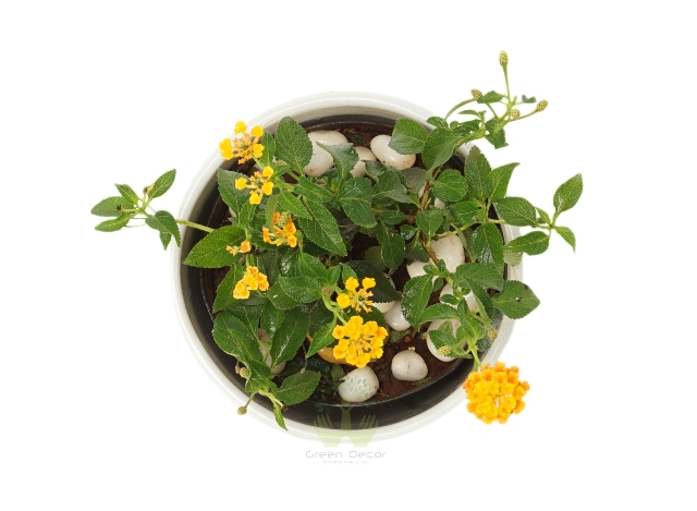 Buy Lantana Plant Top View, White Pots and Seeds in Delhi NCR by the best online nursery shop Greendecor.