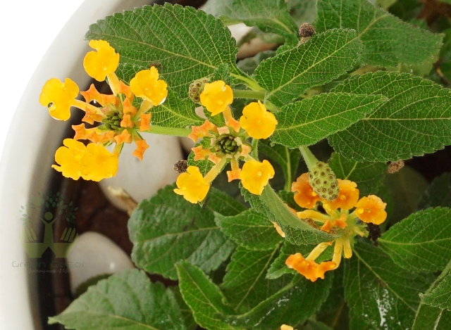 Buy Lantana Plant Leaves View, White Pots and Seeds in Delhi NCR by the best online nursery shop Greendecor.