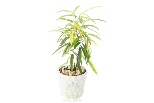 Buy Ficus Plant Front View, White Pots and Seeds in Delhi NCR by the best online nursery shop Greendecor.