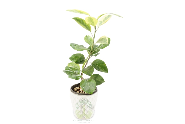 Buy Banyan Plant Front View, White Pots and Seeds in Delhi NCR by the best online nursery shop Greendecor.