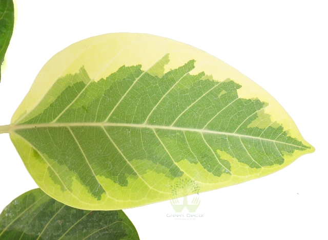 Buy Banyan Plant Leaves View, White Pots and Seeds in Delhi NCR by the best online nursery shop Greendecor.