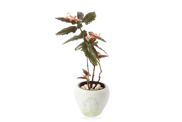 Buy Begonia Plant Front View, White Pots and Seeds in Delhi NCR by the best online nursery shop Greendecor.