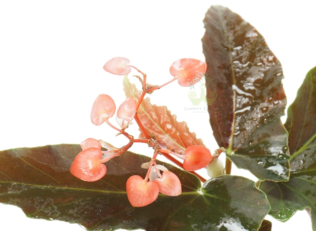 Buy Begonia Plant Leaves View, White Pots and Seeds in Delhi NCR by the best online nursery shop Greendecor.